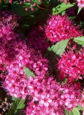Спирея бумальда Розовый фонтан