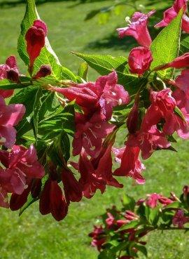 Вейгела Розовые Колокола