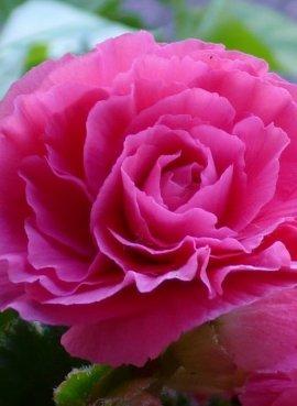 Бегония Фортуна Дарк роуз...