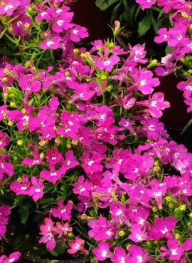 Лобелия Розовый каскад,...