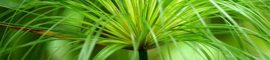 Семена циперусв