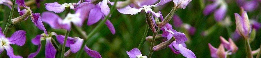 Семена маттиолы