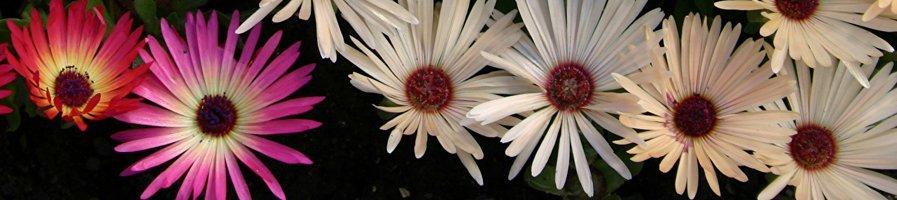 Семена Мезембриантемума