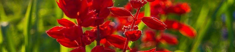 Семена сальвии