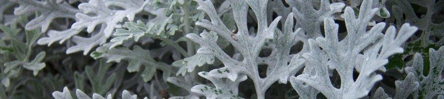 Семена цинерарии