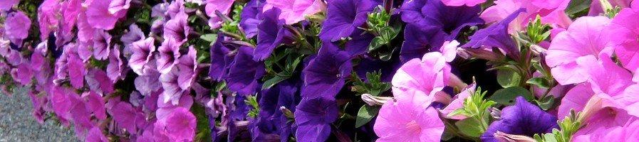 Цветы ампельные