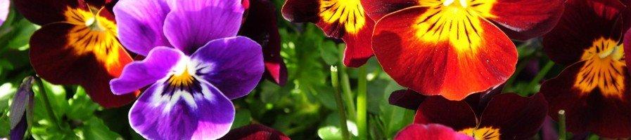 Двулетние цветы