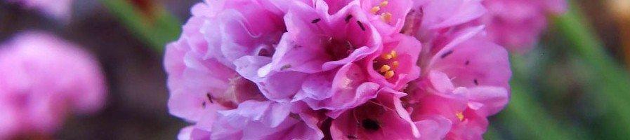 Семена декоративного лука
