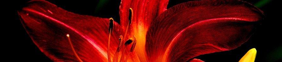 Семена лилии