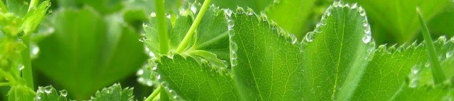 Семена манжаетки