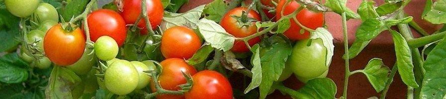 Семена комнатного томата