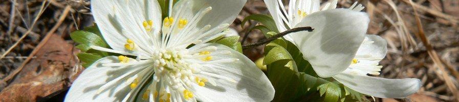 Семена весенника