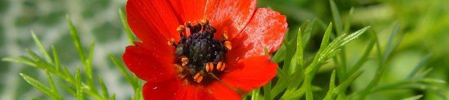 Семена адониса