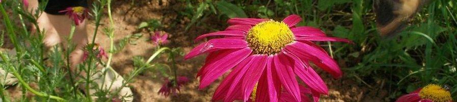 Семена пиретрума