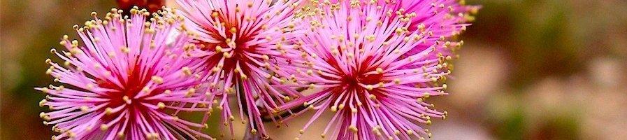 Семена мимозы
