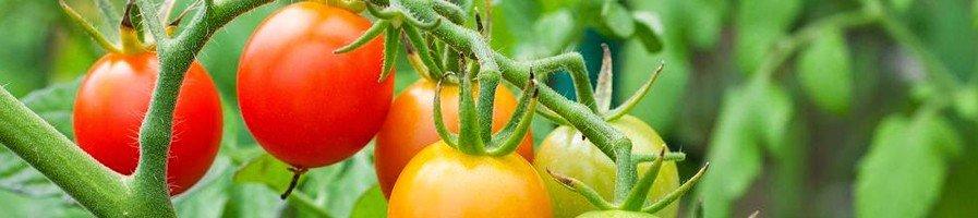 Грунтовые томаты