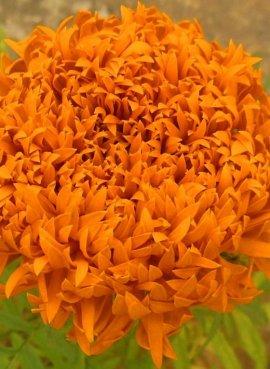 Бархатцы Фантастика оранжевая