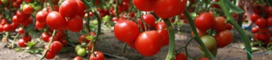 Среднерослые томаты