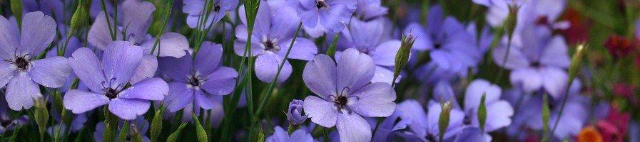 Семена вискарии
