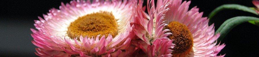 Семена гелихризума