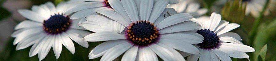Семена диморфотеки